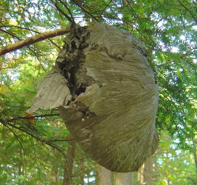 beaverpond: paper wasp nest